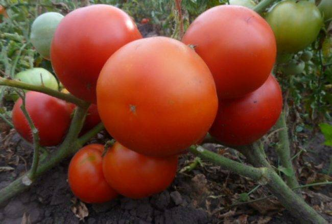 Выбор любителей и профессионалов — томат тимофей f1: описание сорта, характеристики, советы по выращиванию