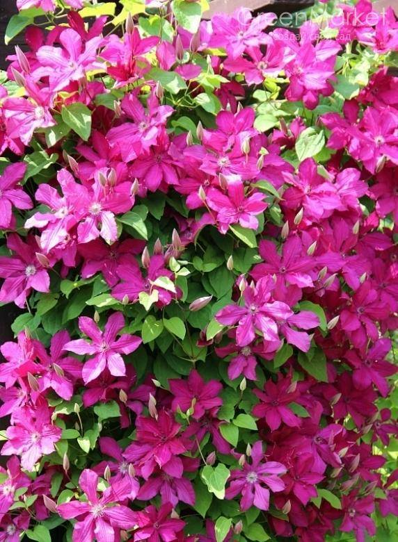 Новые сорта цветов клематисы