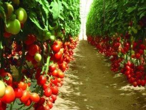 Описание детерминантного сорта томата флорида петит и особенности выращивания