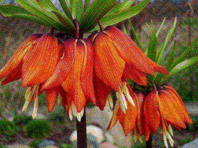 Цветок рябчик: описание, размножение и выращивание