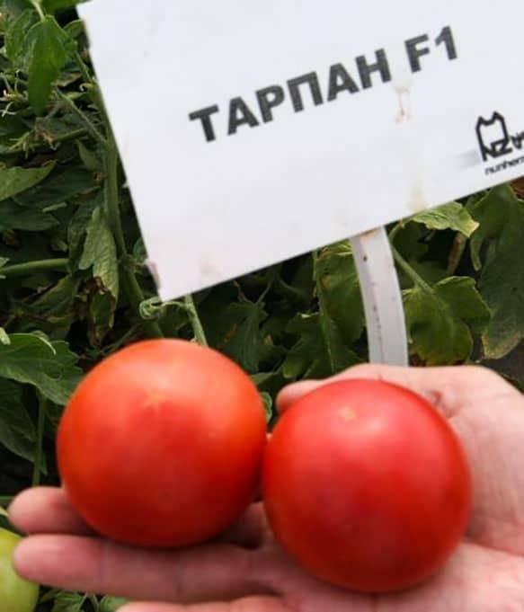 Описание и особенности выращивания сорта томатов «тарпан»