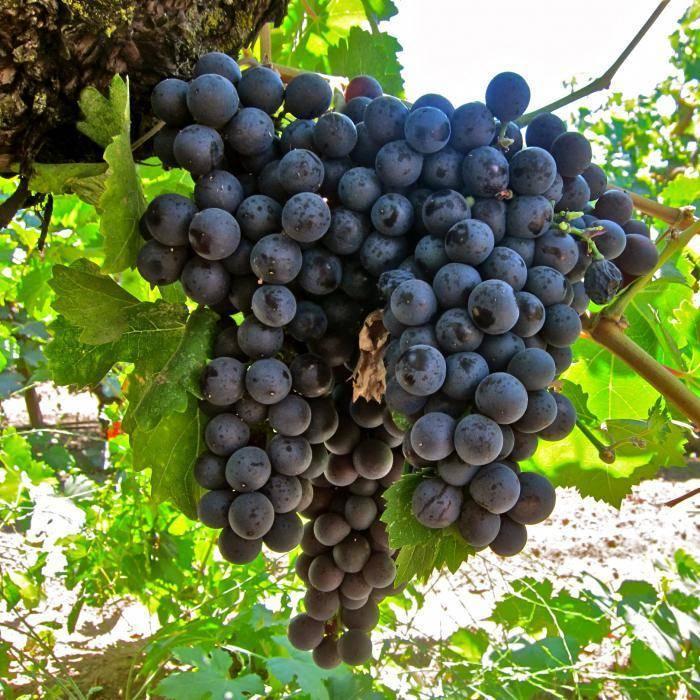 виноград ришелье описание сорта фото сочленение сустав