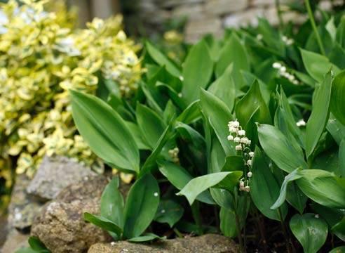 Ландыш — аромат весны