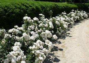Плетистые розы: посадка, уход, лучшие сорта