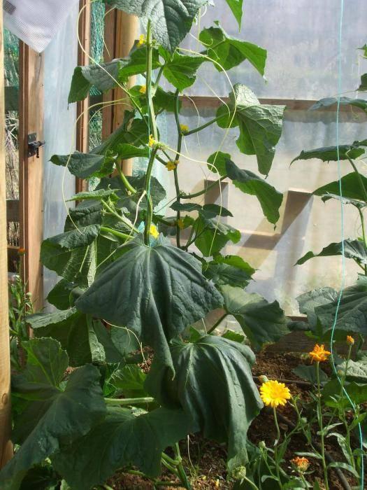 Посадка огурцов с применением окучивания — отличный урожай гарантирован