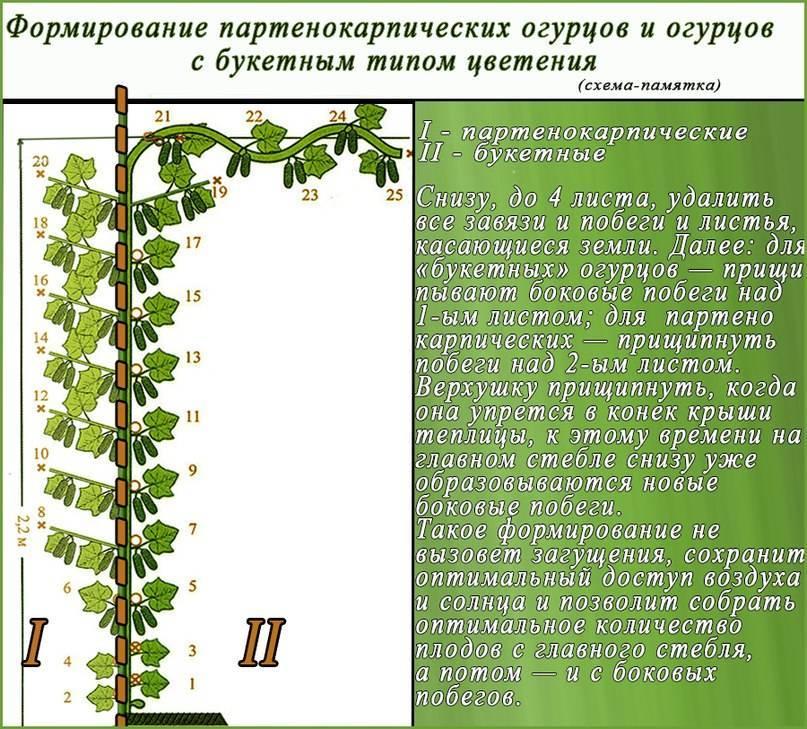 Способ увеличить урожай огурцов в теплице