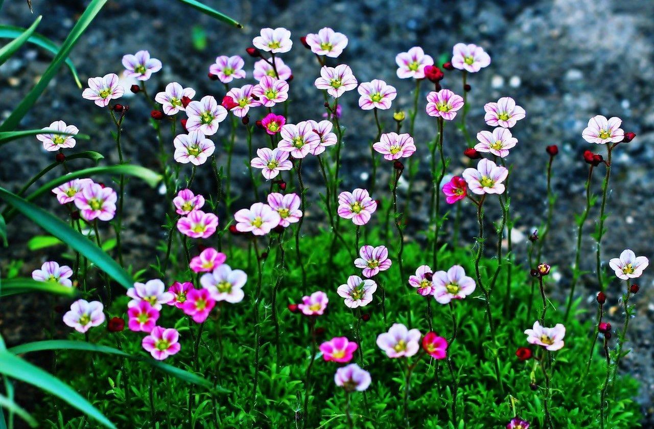 Камнеломка: описание видов и условия выращивания