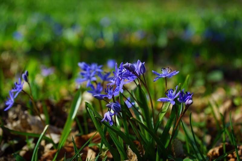 Сцилла (пролеска) – первый весенний цветок, «зимние синие слёзки»