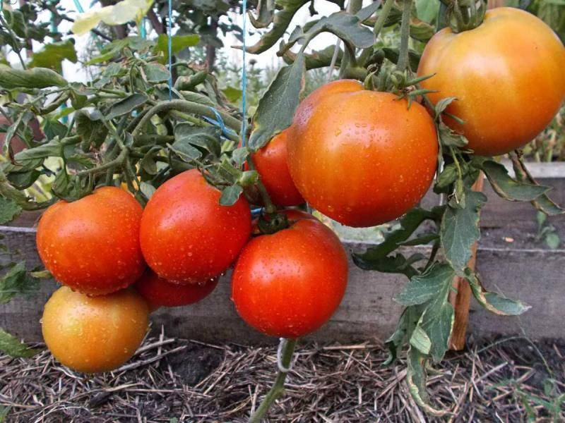 Описание сорта томата титаник и его характеристика