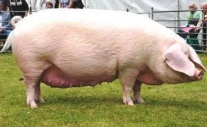 Йоркширская порода свиней – источник нежного мяса