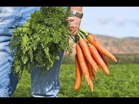 Как использовать ботву моркови – 10 рецептов