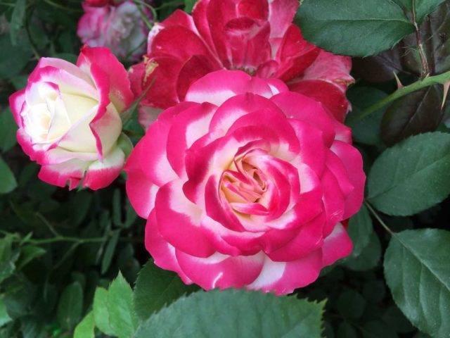 Яркая и эффектная роза юбилей принца монако: описание и фото, цветение и уход, размножение и болезни