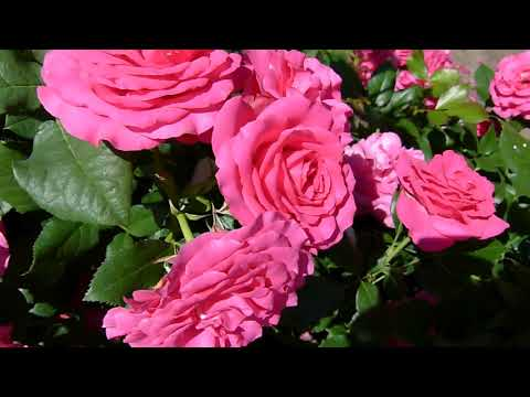О зеленых розах: описание и характеристики сортов, уход и выращивание