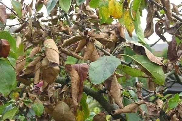Почему чернеют листья на яблоне — даем ответ
