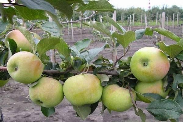 Характеристики, описание и регионы выращивания яблонь сорта снежный кальвиль
