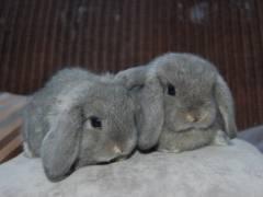 Кролики породы баран: описание, разновидности и условия содержания