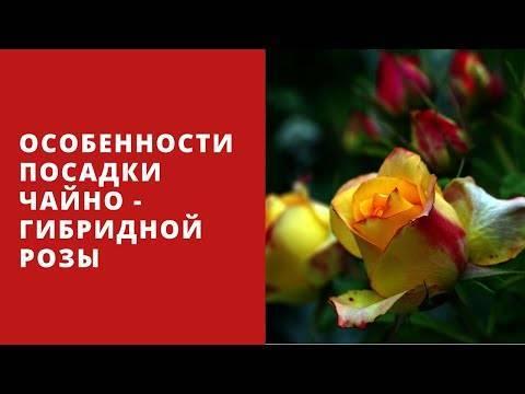 Описание и характеристики розы сорта Фридом, правила посадки и ухода