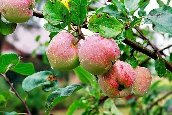 Характеристики и описание сорта яблонь Соковое-3, устойчивость к заболеваниям