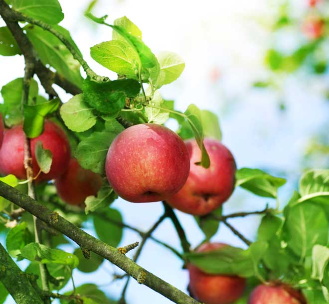 Как сохранить яблоки свежими зимой
