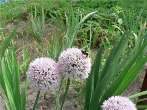 Лук слизун выращивание семена фото уход