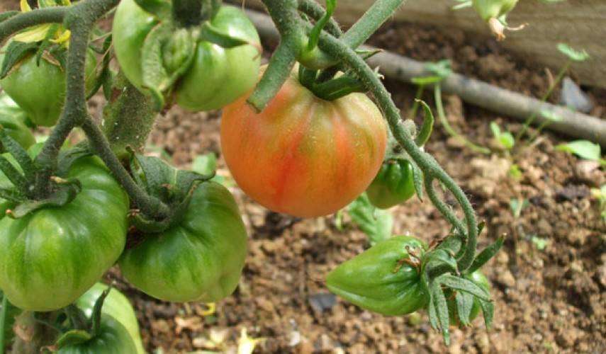 Особенности опрыскивания помидор борной кислотой для завязи