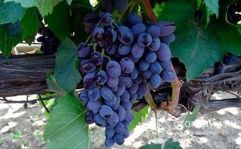 Виноград кишмиш «юпитер» — бессемянный и урожайный