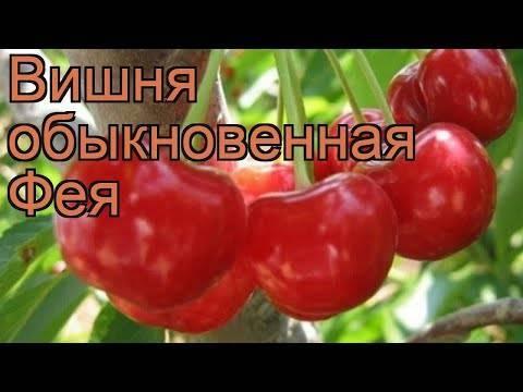 Вишня шалунья ‒ неприхотливый сорт с ягодами восхитительного вкуса