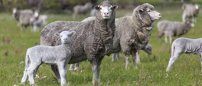 Как происходит окот у овец и как принять роды?