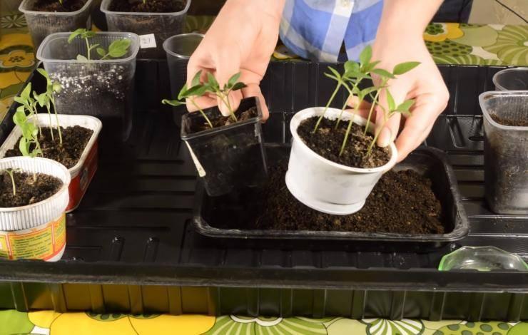 Как прорастить семена помидор перед посадкой: способы и пошаговая инструкция