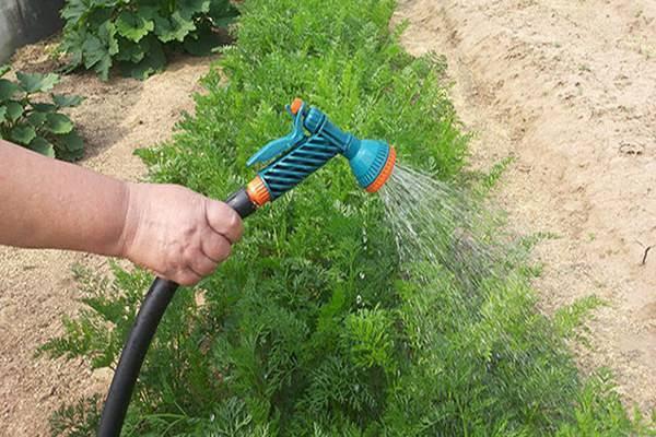 Схема полива моркови после высадки в открытый грунт