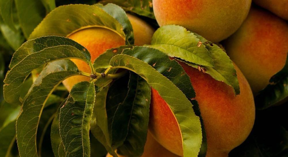 Прививка персика — сроки и правила окулировки