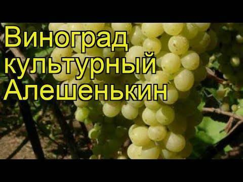 Характеристики мускатного винограда алешенькин — посадка и уход