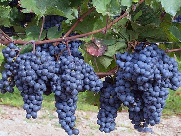Все что нужно знать о пересадке винограда на новое место