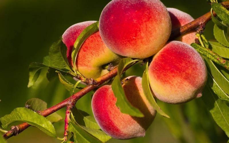 Болезни и вредители персиков: меры борьбы с ними, их лечение