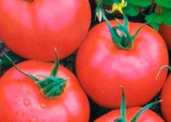 Выращиваем высокоурожайный томат «ожаровский малиновый»: описание сорта, достоинства и недостатки