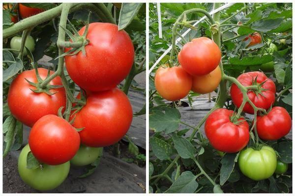 Cорт томатов для северных районов «купола сибири»