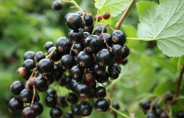Лето смородине дарит чёрные жемчуга