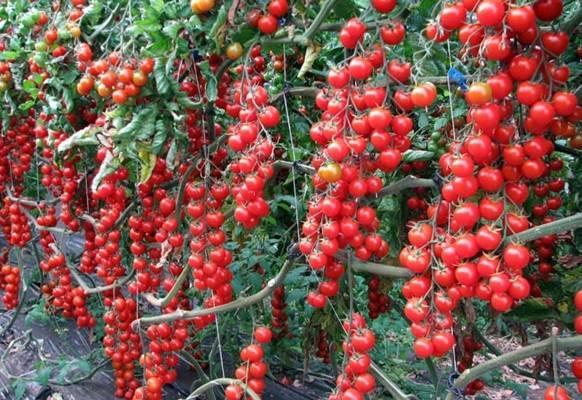 Характеристика и описание сорта томата Свит черри, урожайность и выращивание
