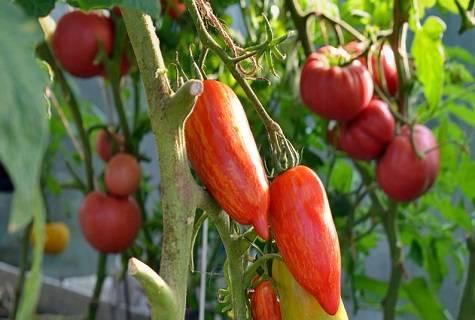 Сорт для ленивых — томат пламя: описание помидоров и советы по выращиванию