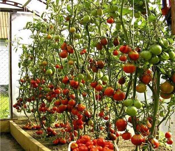 Помидорное дерево: выращивание из семян в теплице