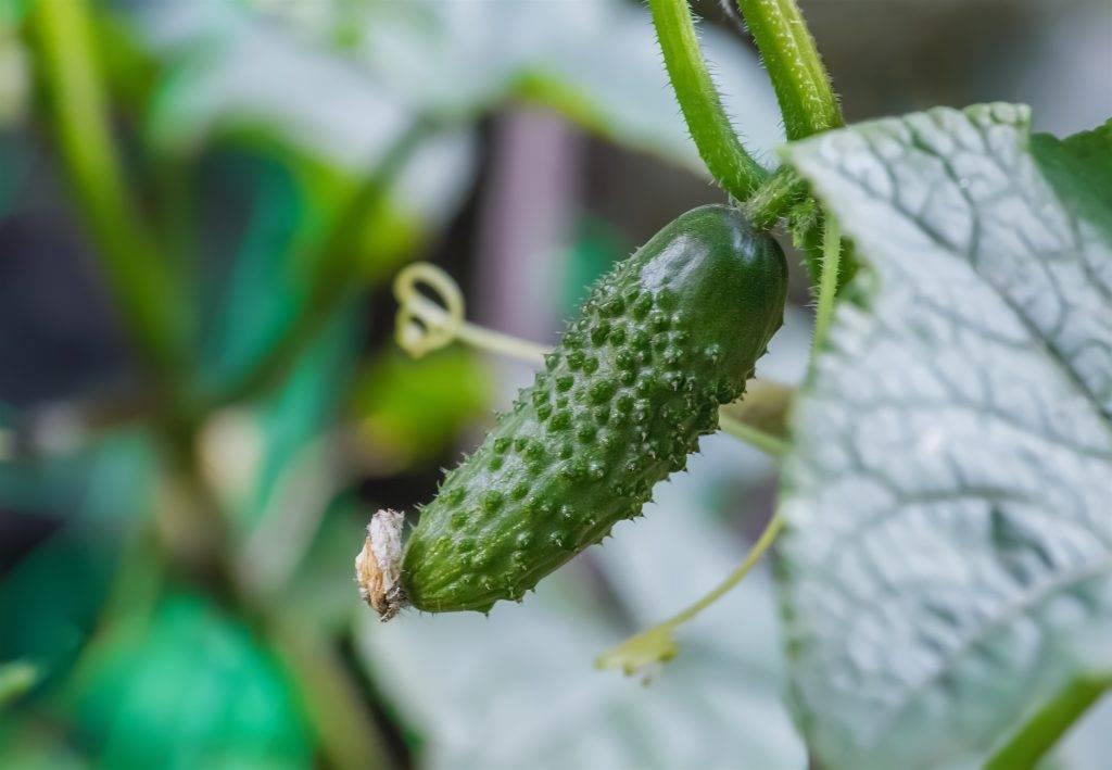 Описание и особенности выращивания огурцов мурашка, фото, отзывы об урожае