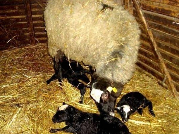 Романовская порода овец.