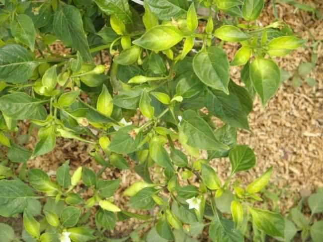 Почему желтеет перец и опадают листья: основные причины, первая помощь и методы восстановления поврежденного овоща своими руками (120 фото)