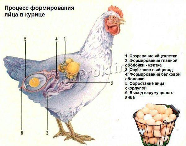 Чем нужно кормить кур для хорошей яйценоскости?
