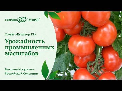 Сорт (гибрид) томата «евпатор f1»: описание, характеристика, посев на рассаду, подкормка, урожайность, фото, видео и самые распространенные болезни томатов
