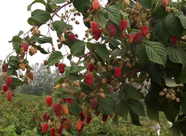 Малина брянское диво: крупноплодная красавица в саду