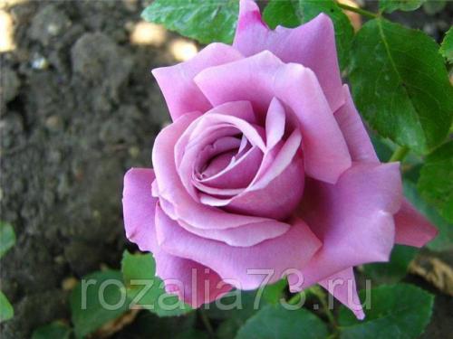 Особенности выращивания чайно-гибридных роз