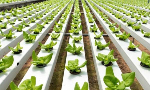 Правильная технология выращивания огурцов на гидропонике
