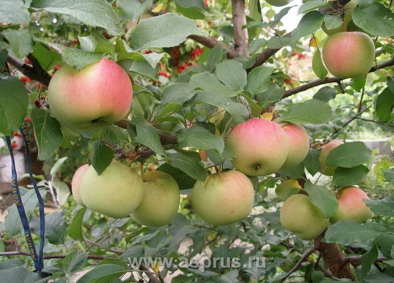 сорт яблони ломоносовское фото и описание сорта новичков она даёт