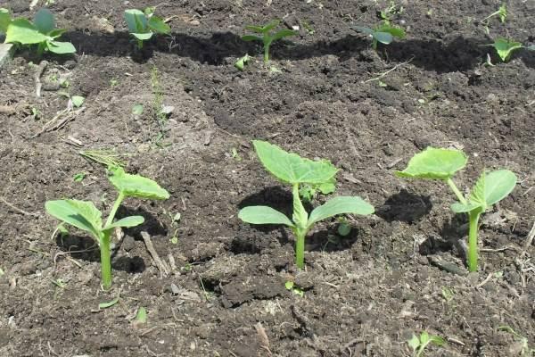 Выращивание огурцов с кукурузой на одной грядке
